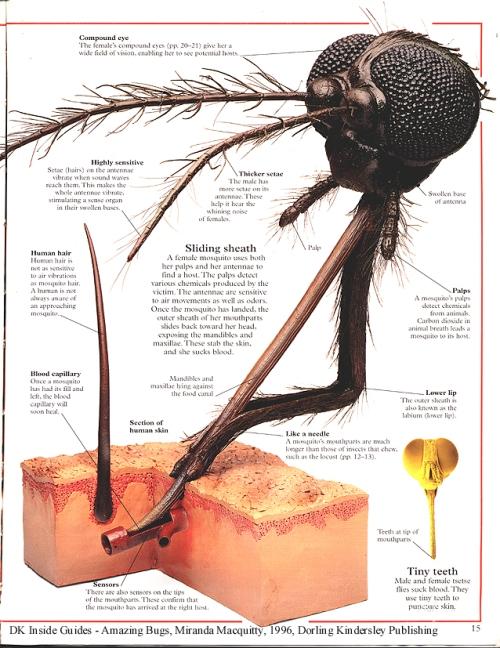 mosquito mouthparts?w500&amph648